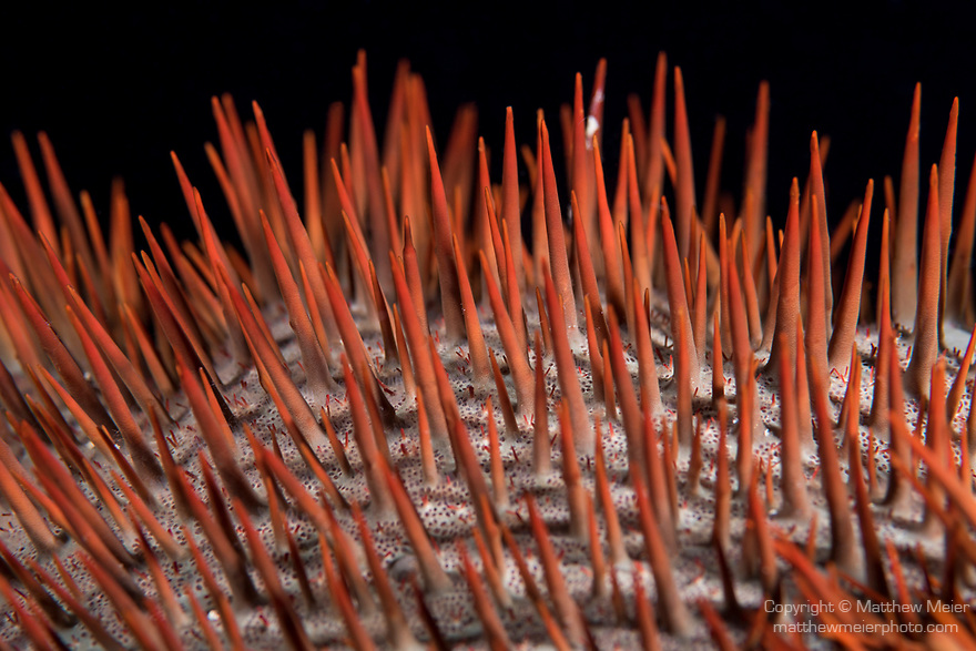 Marovo Lagoon, Solomon Islands; a detail view of the red thorns on a crown-of-thorns sea star feeding on the coral reef