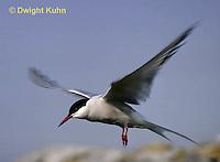 MC59-059z  Arctic Tern - flying above island - Machias Seal Island, Bay of Fundy - Sterna paradisaea