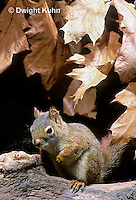 MA07-044z   Red Squirrel - sitting by tree cavity with acorns - Tamiasciurus hudsonicus