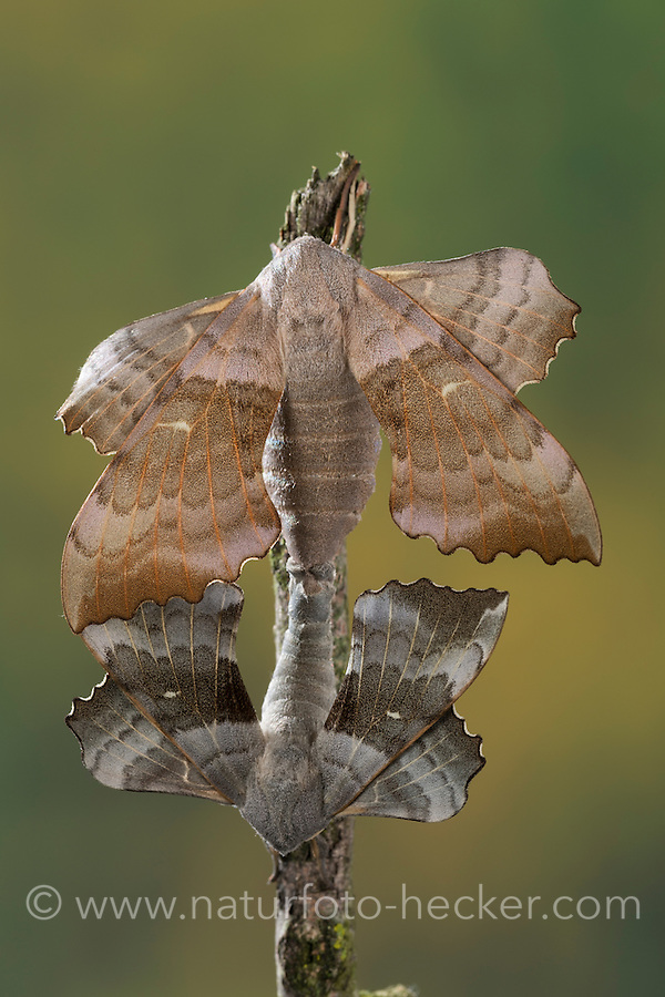 Pappelschwärmer, Paarung, Kopulation, Kopula, Pappel-Schwärmer, Laothoe populi, Sphinx populi, Poplar Hawk-moth, Poplar Hawkmoth, pairing, copula, Le sphinx du peuplier, Schwärmer, Sphingidae, Hawkmoths, hawk moths, sphinx moths