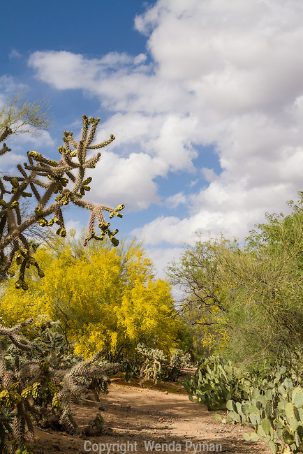 Blooming Palo Vede  & cacti frame desert hiking trails