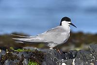 White-fronted Tern - Sterna striata
