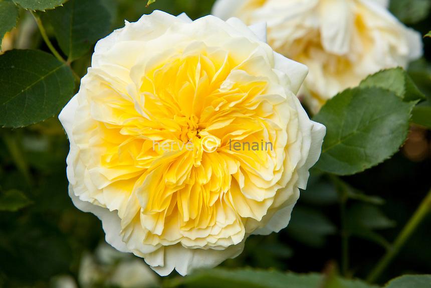 Rose 'Graham Thomas', Rosa 'Graham Thomas' (David Austin).