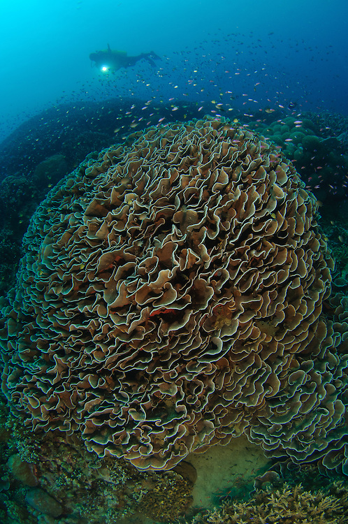 Diver exploring Cabbage Coral mountain (Turbinaria reniformis). Also known as Scroll Coral. Gorontalo, Indonesia