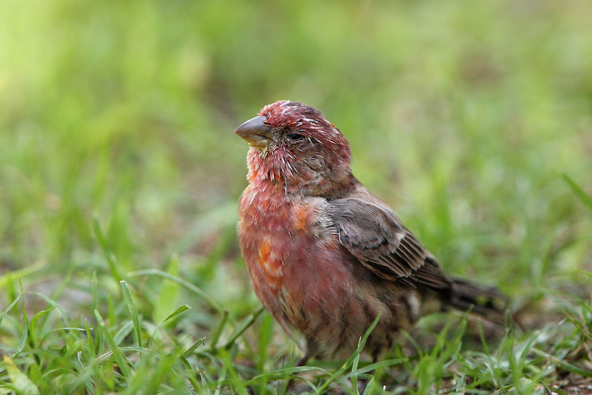 This House Finch is tipsy from eating too many fermented grapes.