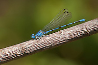 338630003 a wild male springwater dancer damselfly argia plana perches on a small stick in lockhart city park lockhart texas