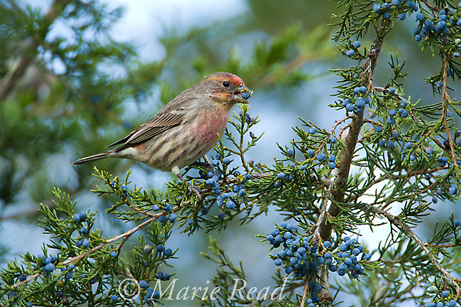 House Finch (Carpodacus mexicanus) male feeding on Juniper berries in autumn, Ithaca, New York, USA
