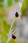 Orchid (Ophrys lunulata), endemic to Sicily, Italy