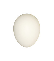 Barn Owl - Tyto alba - egg