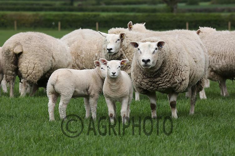 Pedigree Texel Ewes with lambs