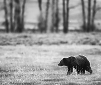 This was my very first stop for photos on the trip, a grizzly bear walking across the floor of the Lamar Valley in the evening.