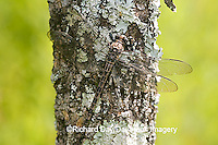 06340-001.07 Gray Petaltail (Tachopteryx thoreyi) perched on tree, Ripley Co.  MO