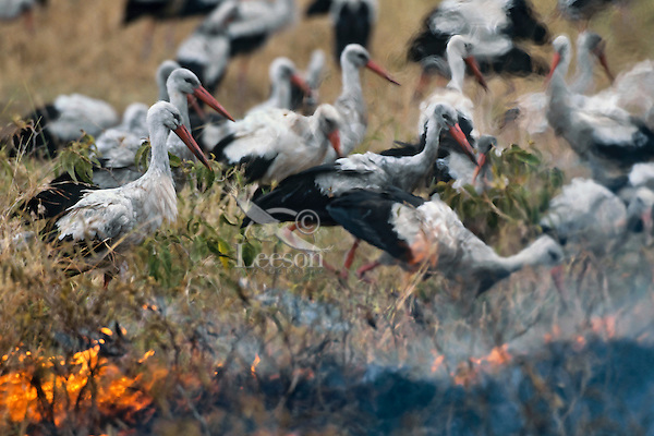 White Storks (Ciconia ciconia) or European Storks hunting along edge of fire (snakes, insects and small rodents fleeing the fire make an easy meal), Africa.