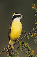 Great Kiskadee, Pitangus sulphuratus,adult on blooming Huisache (Acacia farnesiana), Lake Corpus Christi, Texas, USA