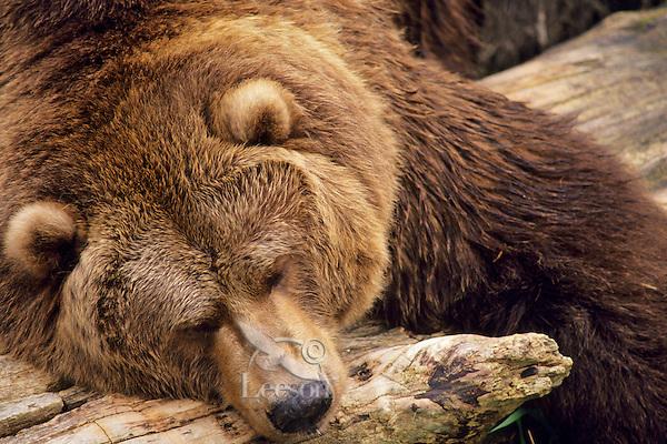 Grizzly Bear sleeping on drift logs or beach log along Alaskan coast.