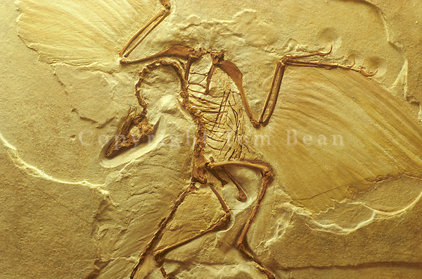 Archaeopteryx, cast of  fossil bird, 145 Million years old, Late Jurassic Period, Germany, AGPix_0253.
