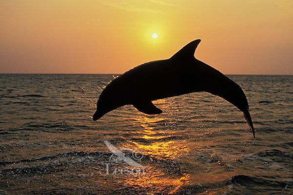 Common Bottlenose Dolphin or Bottle-nosed dolphin (Tursiops truncatus) off the west coast of Hondurus.  Sunset.
