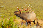 Bull Elk Bugling at Sunrise, Lower Mammoth, Yellowstone National Park, Wyoming