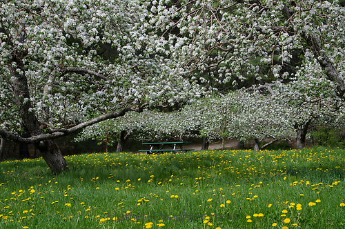Picnic table in blooming apple orchard, Hansels Orchard, North Yarmouth Maine, USA