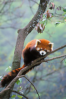 Red panda  or lesser panda (Ailurus fulgens), Wolong Nature Reserve, China.