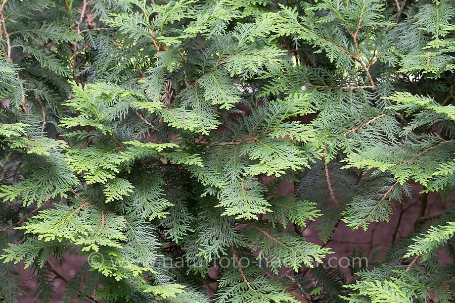 Abendländischer Lebensbaum, Thuja occidentalis, Arborvitae, Red Cedar