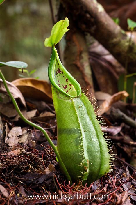 Ground pitchers of Pitcher Plant (Nepenthes hirsuta). Montane mossy heath forest or 'kerangas', southern plateau, Maliau Basin, Sabah's 'Lost World', Borneo.