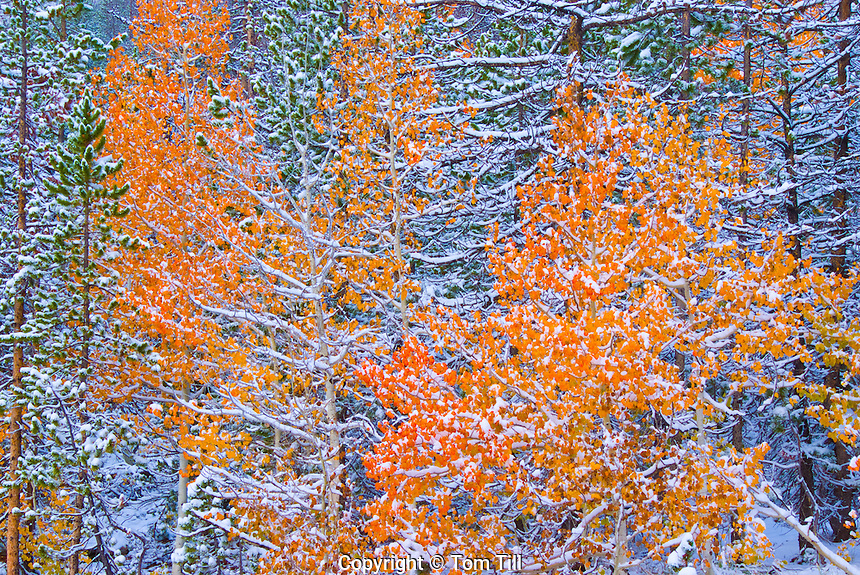 Aspens in snow,  High Uintas Mountains near Mirror Lake, Utah   Wasatch/Cache National Forest   Populus tremuloides