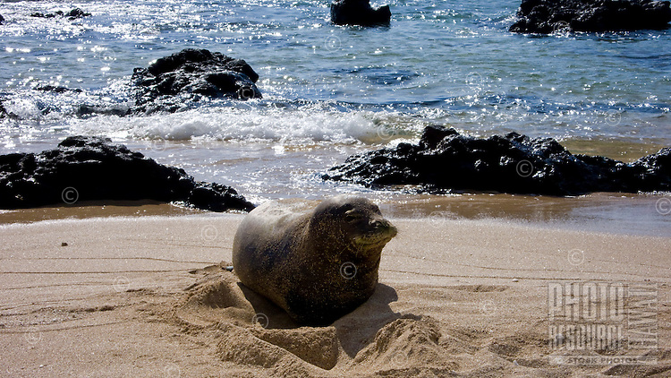 A native Hawaiian monk seal on  a west Molokai beach