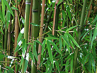 Stock photo: Beautiful green bamboo shoots in the Japanese garden of San Francisco.