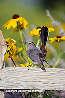 "01392-02311 Gray Catbird (Dumetella carolinensis) on wooden fence near Black-eyed Susans (Rudbeckia hirta ""Indian Summer"")  IL"