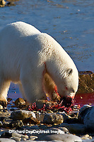 01874-12809 Polar bear (Ursus maritimus) eating Ringed Seal (Phoca hispida)  in winter, Churchill Wildlife Management Area, Churchill, MB Canada