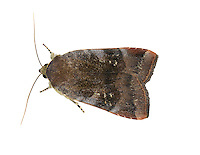 Lesser Broad-bordered Yellow Underwing Noctua janthe Length 20-23mm. An attractively marked moth that rests with wings held flat, one forewing partly overlapping the other. Adult has reddish-brown forewings with subtle purplish-grey banding and a reddish margin to the outer leading edge. There is a neatly defined pale front end. Flies July-September. Larva feeds on a range of herbaceous plants. Widespread throughout but commonest in southern Britain.