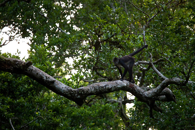 A spider monkey at El Mirador site in Mayan Biosphere.