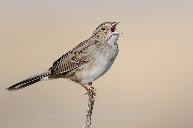 Singing adult Cassin's Sparrow (Aimophila cassinii). Cimarron National Grassland, Kansas. April.