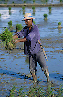 PHILIPPINES Palawan, farmer replant rice in field  / Philippinen Palawan, Landarbeiter pflanzen Reissetzlinge um