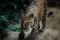 Padre Cocha, Peru, September 14, 2013 - A full grown jaguar on the hunt.