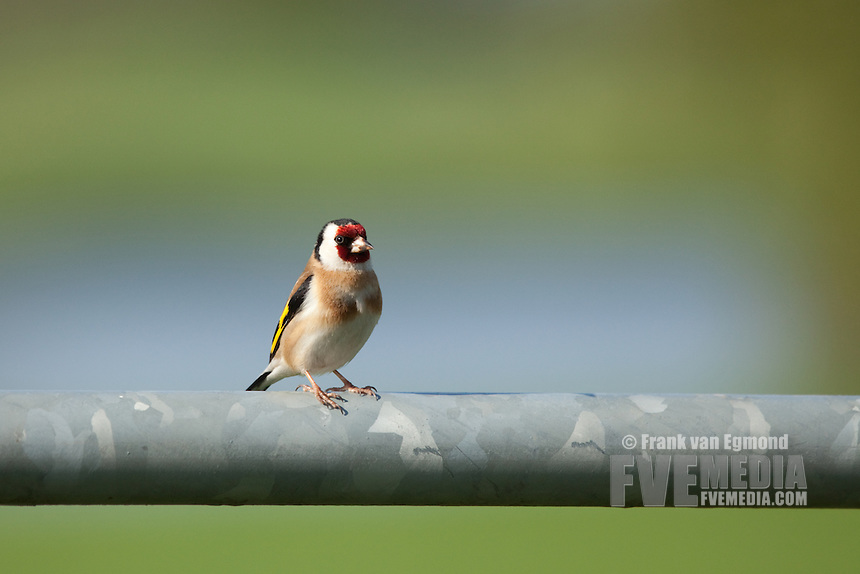 European Goldfinch (Carduelis carduelis) at Batenburg, The Netherlands.