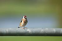 European Goldfinch (Carduelis carduelis) at Batenburg, The Netherlands.