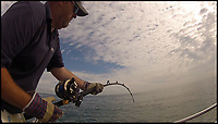 BNPS.co.uk (01202 558833)<br /> Pic: GraemePullen/BNPS<br /> <br /> Huge Thresher shark caught of the Isle of Wight...<br /> <br /> A fearless angler reeled in a record-breaking 350lb monster Thresher shark in the same British waters where great white shark sightings sparked terror a few weeks ago.<br /> <br /> Wayne Comden, of Havant, Hampshire, caught the 15ft long Thresher three miles south of the Isle of Wight after a titanic struggle on Saturday during which he was injured by the predator's fin.<br /> <br /> The Thresher was reeled in next to the 17ft boat aptly named the Thresher - which was barely longer than the predator - so that a picture could be taken before it was released safe and well.<br /> <br /> At the end of last month, a great white shark was sighted repeatedly in the vicinity the nearby Hayling Island, Hampshire.