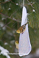 01640-16203 American Goldfinches (Carduelis tristis) on mesh bag bird feeder in winter, Marion Co., IL