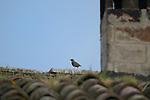 Common Starling (Sturnus vulgaris), Italy