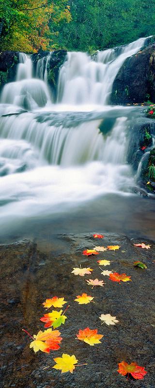 Vine Maple leaves in fall color. Alsea Falls. Oregon.