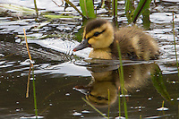 Mallard  (Anas platyrhynchos) ducklings are precocial and fully capable of swimming as soon as they hatch. However, filial imprinting compels them to instinctively stay near the mother not only for warmth and protection but also to learn about and remember their habitat as well as how and where to forage for food. When ducklings mature into flight-capable juveniles, they learn about and remember their traditional migratory routes (unless they are born and raised in captivity). After this, the juveniles and the mother may either part or remain together until the breeding season arrives.