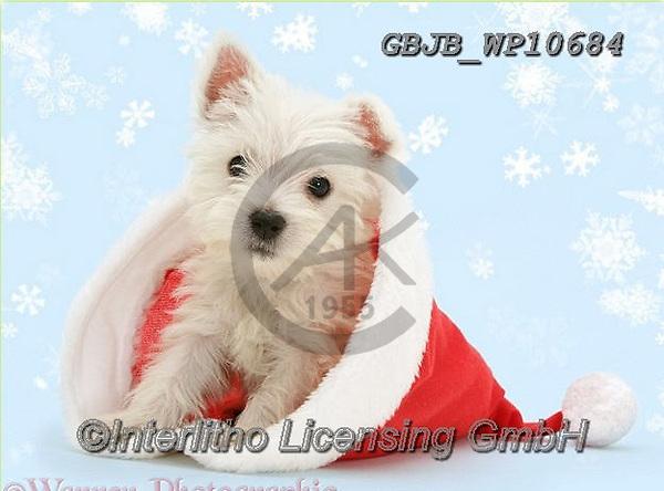 Kim, CHRISTMAS ANIMALS, WEIHNACHTEN TIERE, NAVIDAD ANIMALES, fondless, photos+++++,GBJBWP10684,#xa#