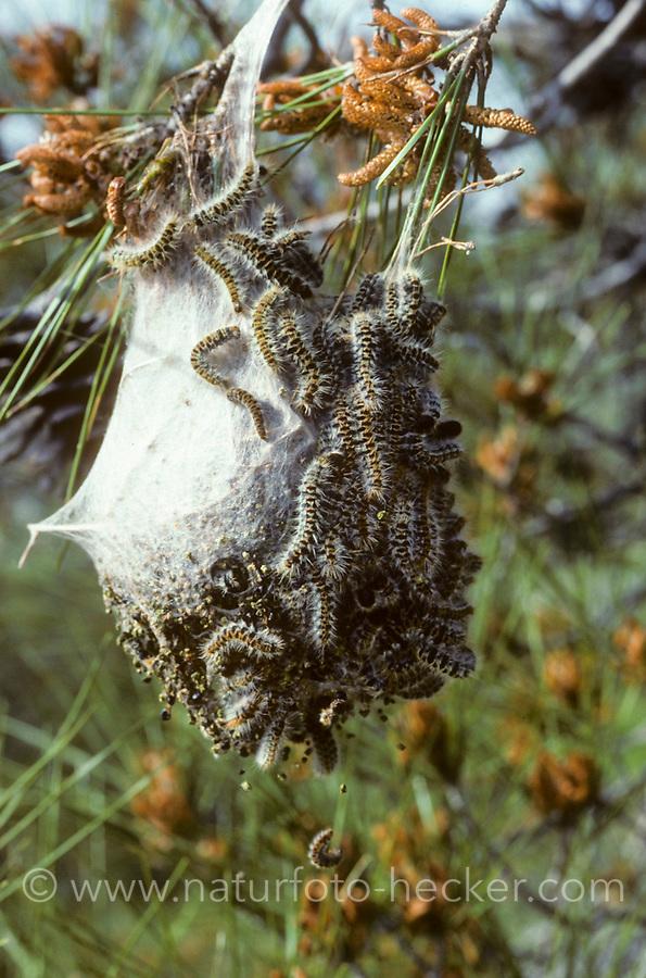 Kiefern-Prozessionsspinner, Kiefernprozessionsspinner, Raupengespinst, Thaumetopoea pinivora, Traumatocampa pinivora, Eastern Pine Processionary