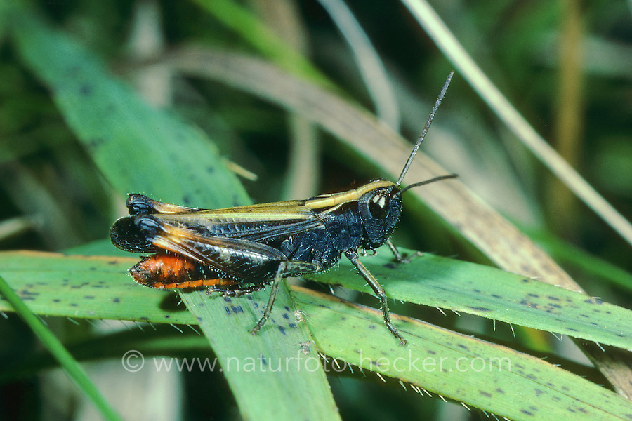 Buntbäuchiger Grashüpfer, Männchen, Omocestus rufipes, Omocestus ventralis, woodland grasshopper, male