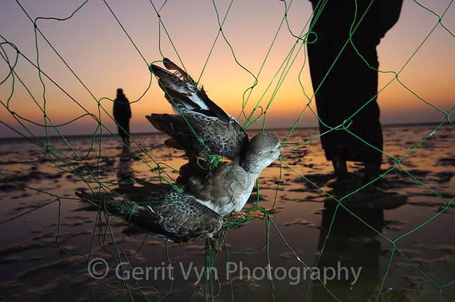 Terek Sandpiper caught in the net of a subsistence hunter on Nan Thar Island. Rakhine State, Myanmar. January.