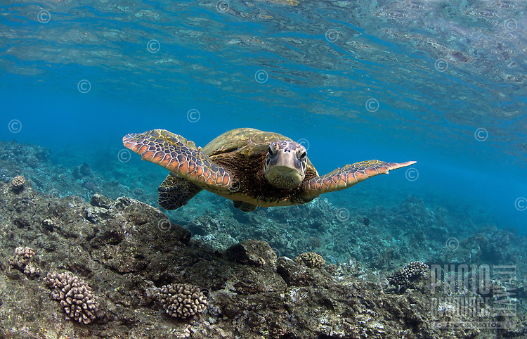 A green sea turtle swims off the coast of Maui.