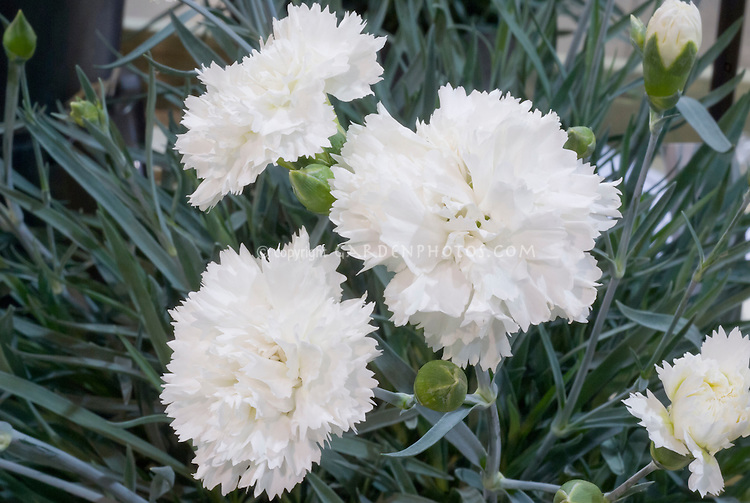 Dianthus Sunflor Odessa Pure, white flowers fragrant carnations