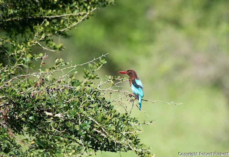 White Throated Kingfisher, Halcyon smyrnensis, Ramsar Wetland, Sri Lanka